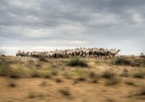 ¿Qué tienen que ver los rusos con los camellos?