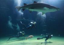 El Oceanogràfic se consolida como el acuario con mayor número de tiburones de Europa
