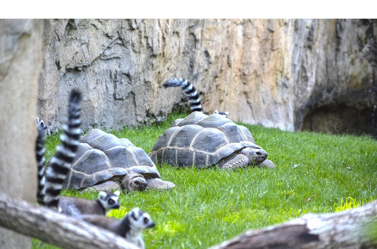 """Una nueva cría de la """"extinta"""" gacela Mhorr y tortugas """"gigantes"""" de Aldabra, nuevos atractivos de BIOPARC Valencia"""
