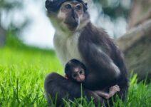 Nace una cría de mangabey en BIOPARC Valencia, un peculiar primate que utiliza los ojos para comunicarse