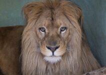Lubango, el nuevo león de BIOPARC, ya está en Valencia